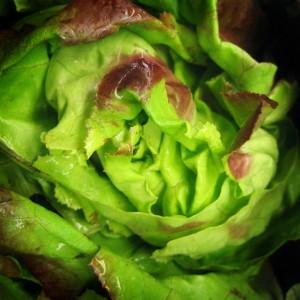 lettuce3-300x300